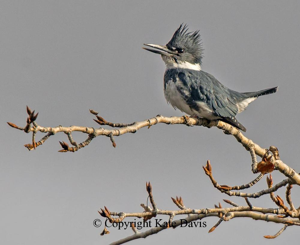 Song Bird Photos - Male Belted Kingfisher - Shore Bird Photos - Male Belted Kingfisher belting out a resonating rattle