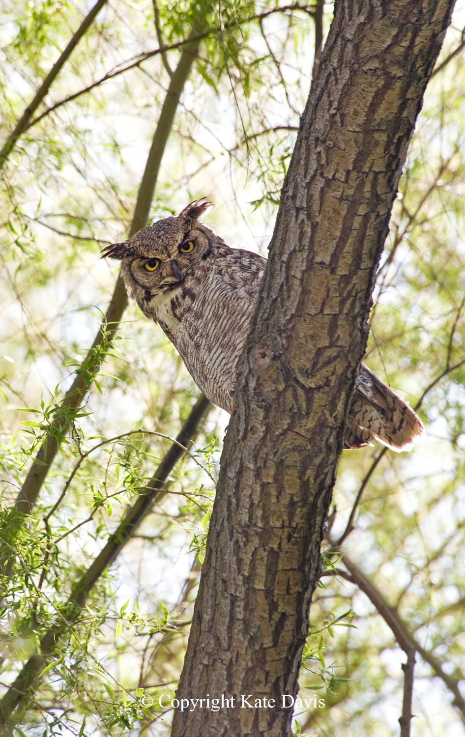 Kate Davis Owl Photographs  - Male Great Horned - Owl Photography - Male Great Horned Owl thinks he knows everything