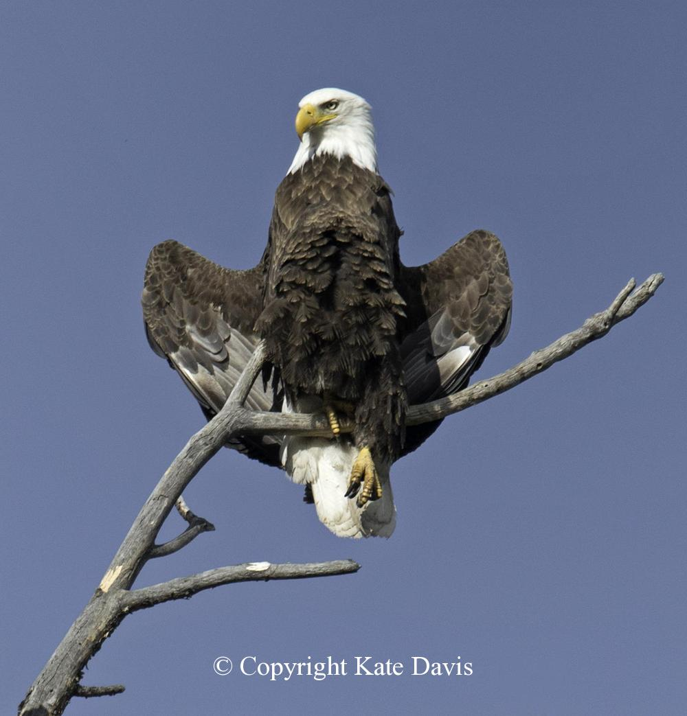 American Bald Eagle - May 30 - Golden Eagle - Posing in the Scenic Snag across the river
