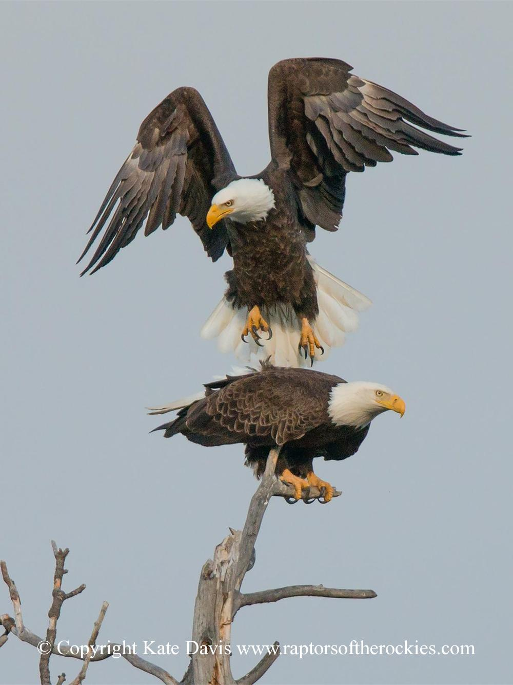 American Bald Eagle - May Day Pair - Golden Eagle - He landed on her back for a brief moment