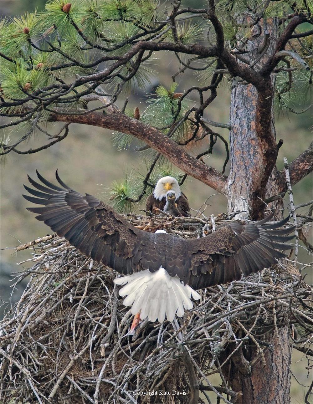 American Bald Eagle - Nest 2011 - Golden Eagle - Bald Eagles 2011 and cover of my eagle book, first day and four months at the nest, four chicks fledged