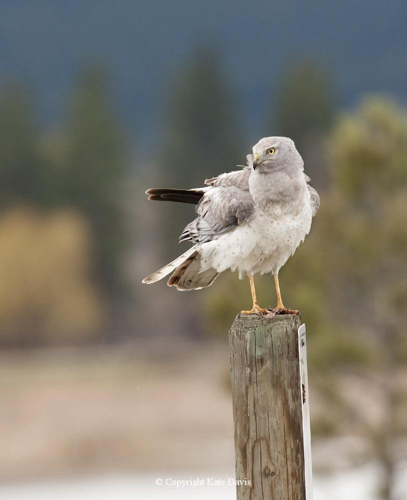 photographs of birds of prey - Northern Harrier - Rough-legged Hawk - And needed some Northern Harriers, as well