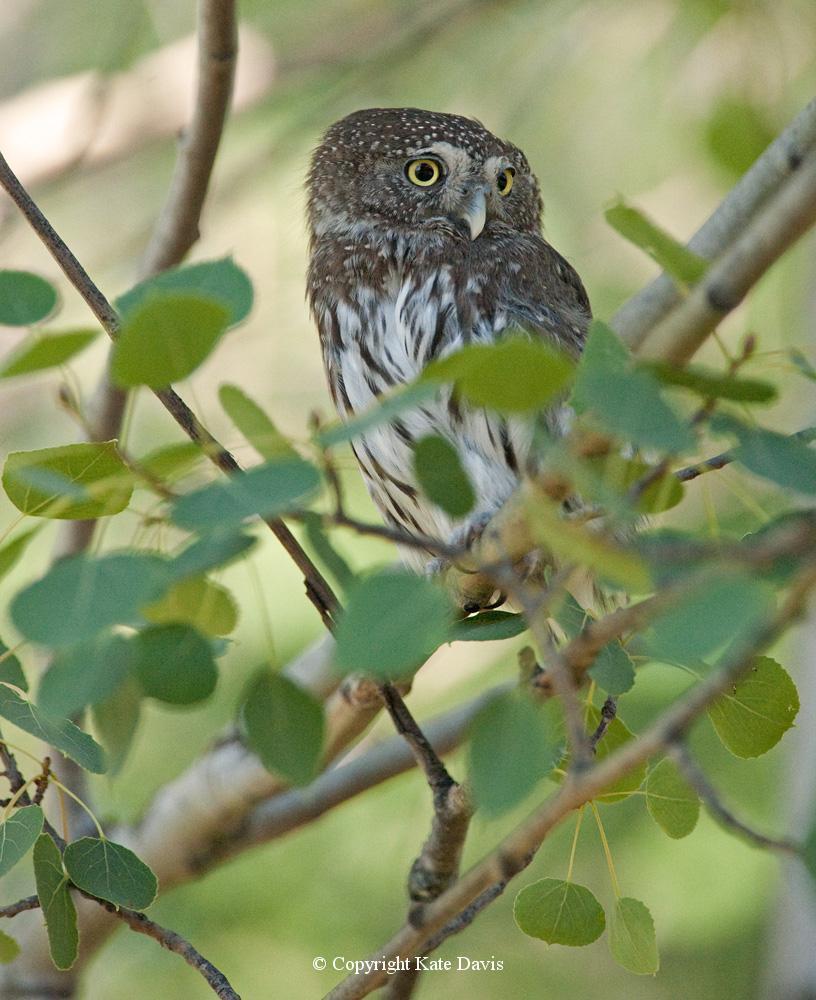 Kate Davis Owl Photographs  - Northern Pygmy-Owl - Owl Photography - Northern Pygmy-Owl, daytime bird-hunters