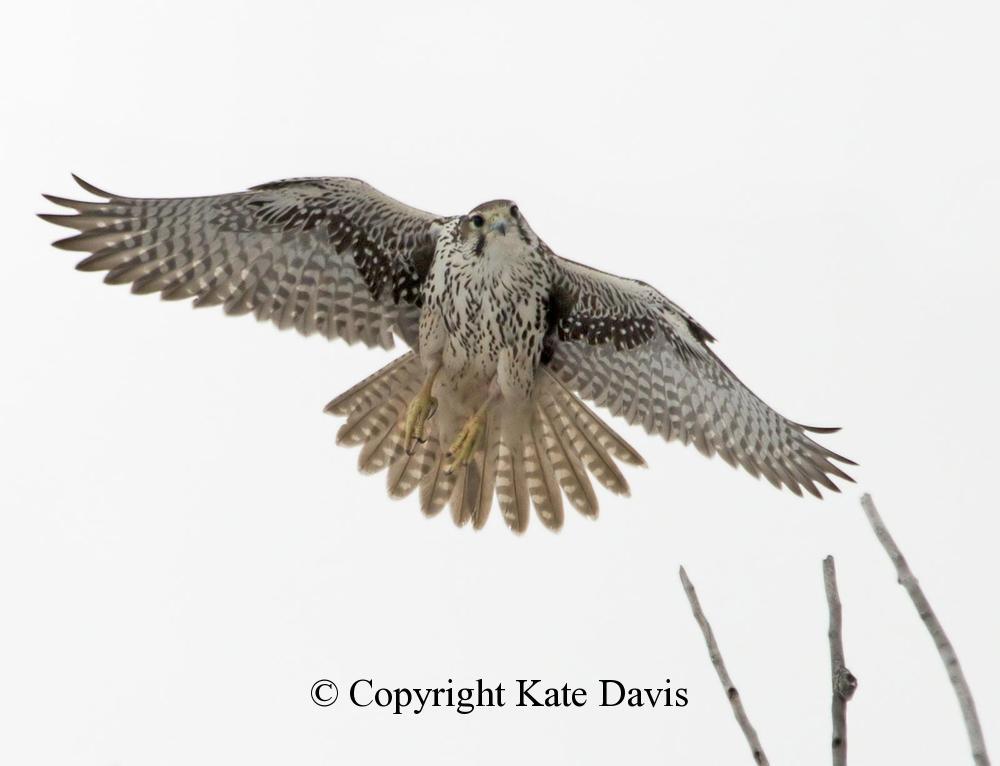 Peregrine Falcon - November Prairie Falcon  - American Kestrel - Prairie Falcons are year-round residents nearby