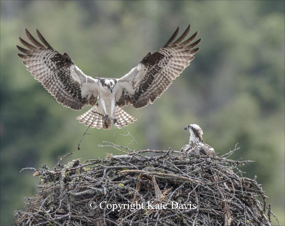 photographs of birds of prey - Osprey Nest at Betsy's - Rough-legged Hawk - I could photograph this Osprey nest from my sister's patio