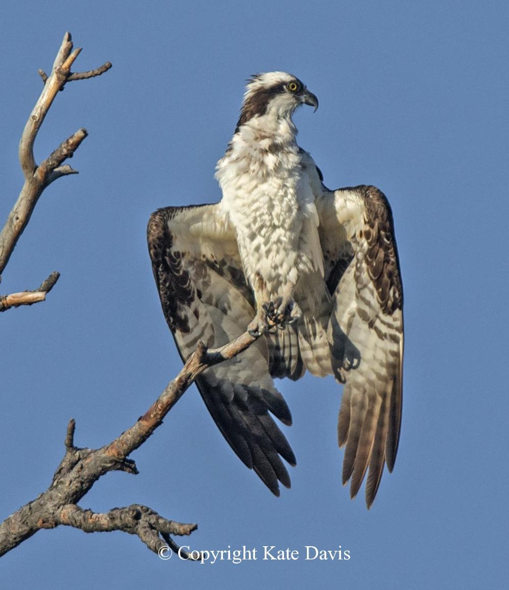 photographs of birds of prey - Osprey Sunning - Rough-legged Hawk - Osprey sunning after getting soaked