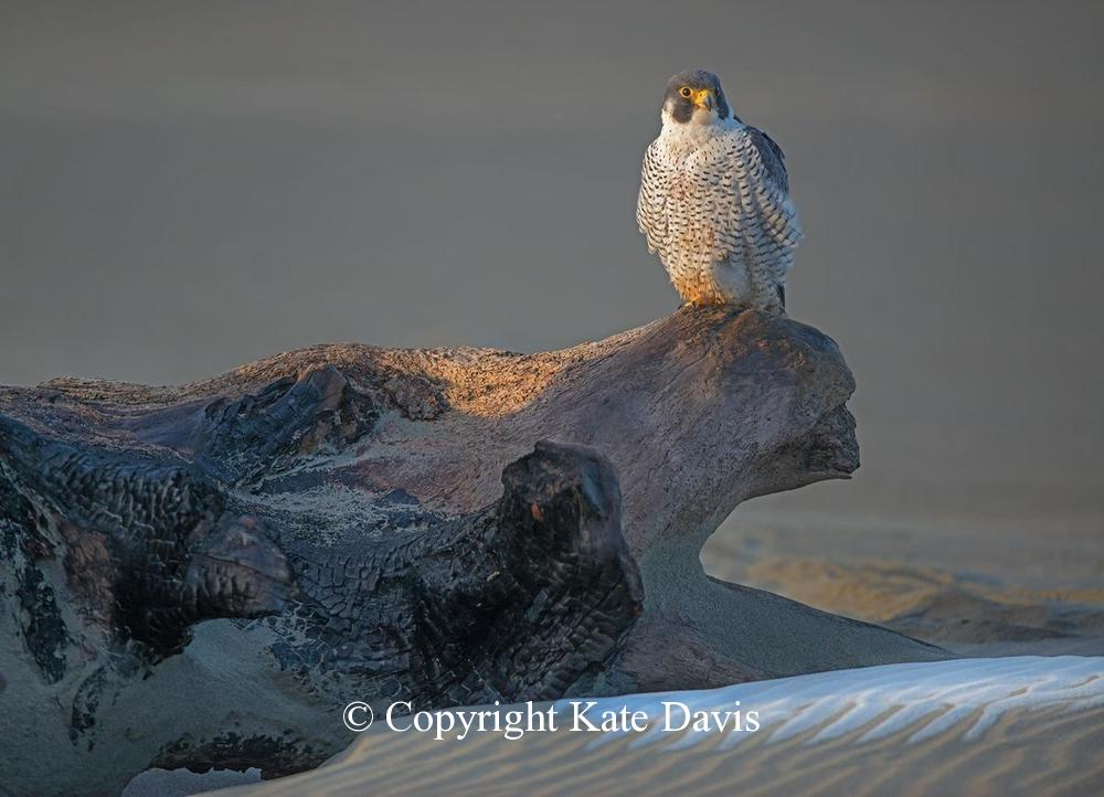 Peregrine Falcon - Peale's Peregrine Tiercel 2013 - American Kestrel - Peales Peregrine tiercel, banded with a W/Z in 2007 by Coastal Raptors in Washington