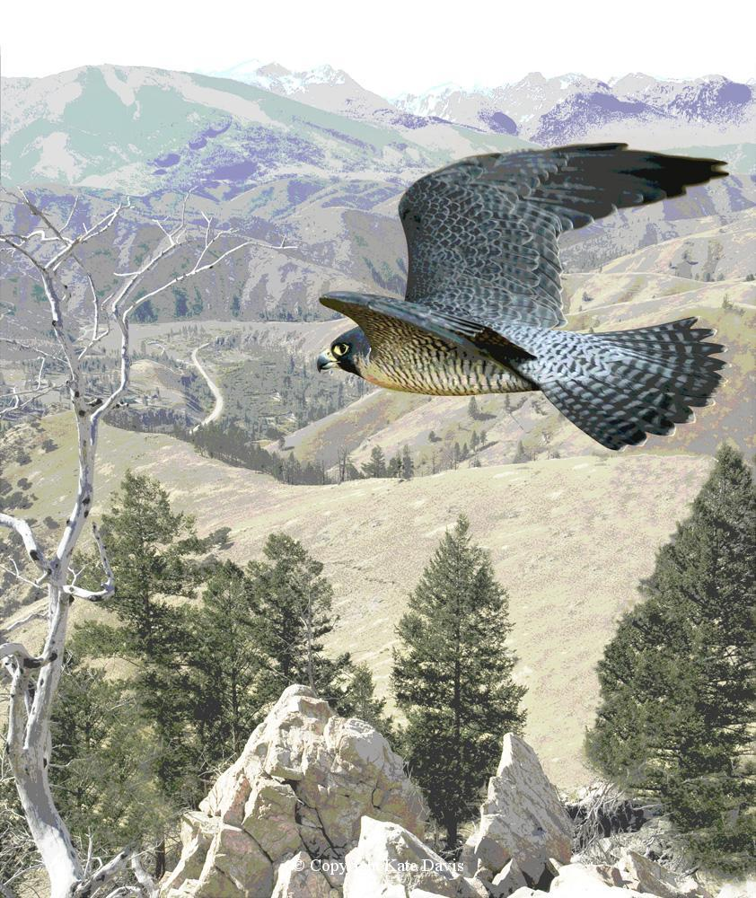 Peregrine Falcon - Peregrine Art - American Kestrel - Peregrine Art - A posterized falcon and background from Sula Peak, Bitterroot Mountains