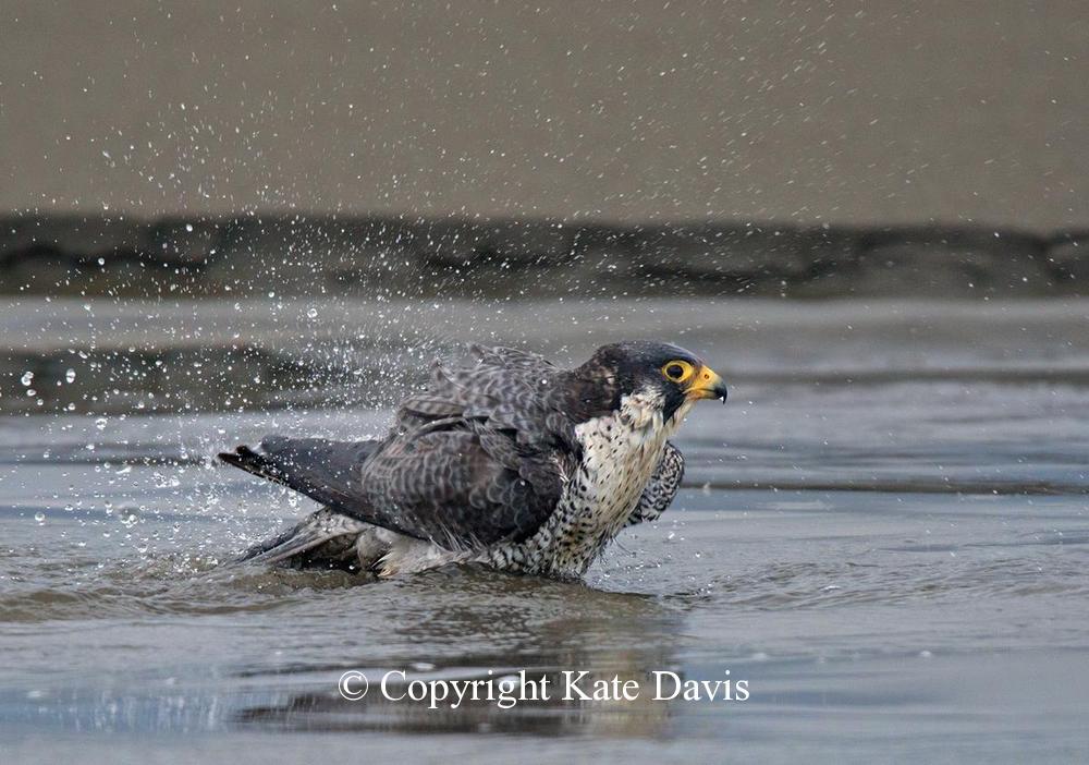 Peregrine Falcon - Peregrine Bath - American Kestrel - A Peregrine Falcon took a long bath in a stream that flowed into the ocean in Washington