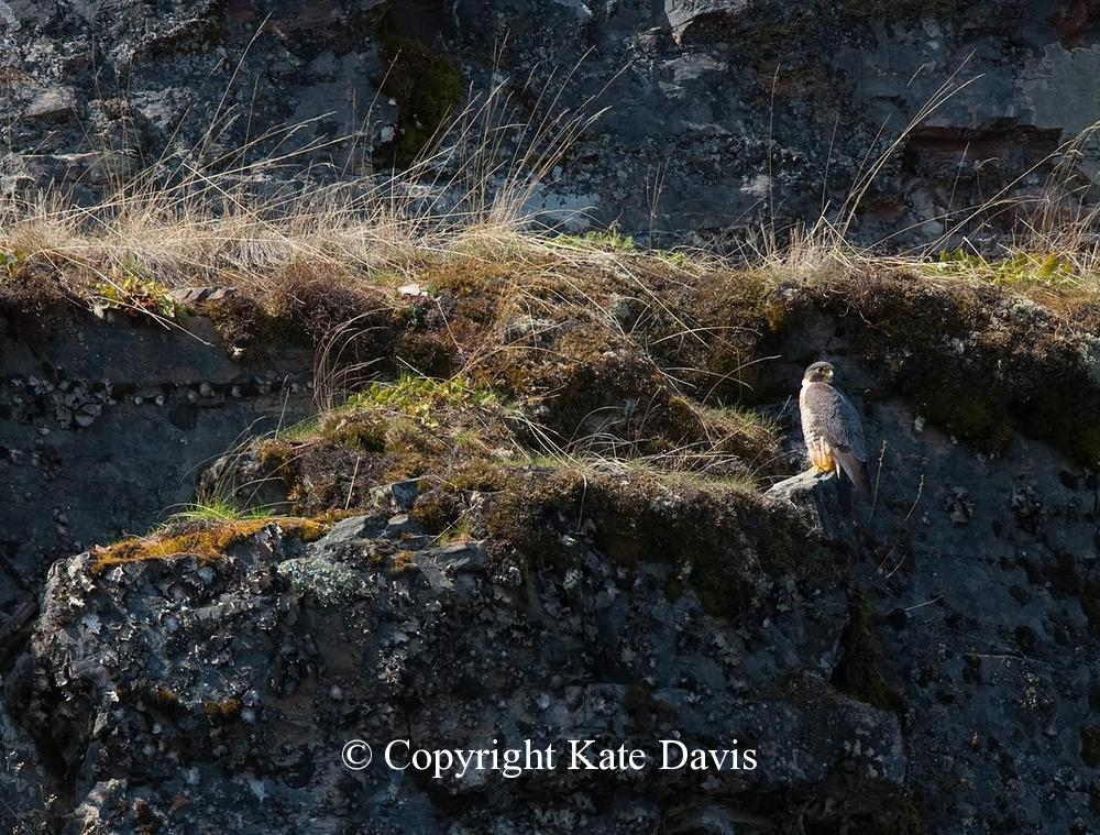 Peregrine Falcon - Peregrine Eyrie - American Kestrel - Peregrine nest was nearby, a beatiful cliff over the Blackfoot River of Montana