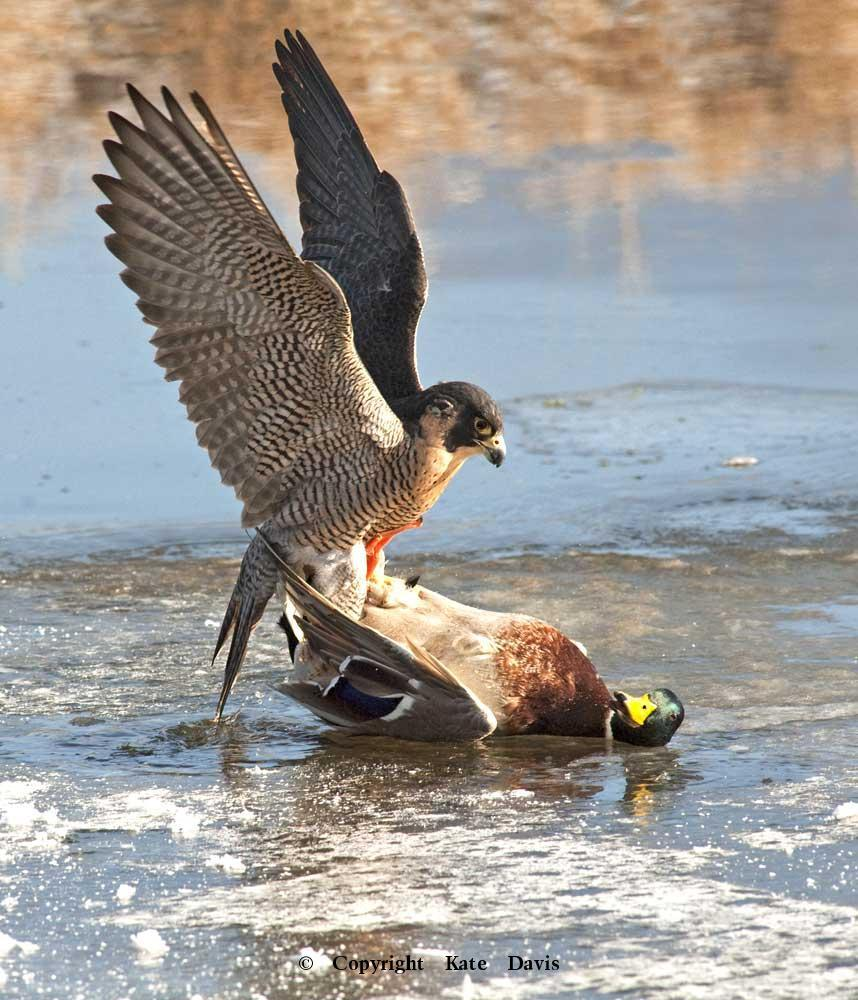Peregrine Falcon - Peregrine On the Ice - American Kestrel - Our Peregrine Falcon caught this duck on the ice