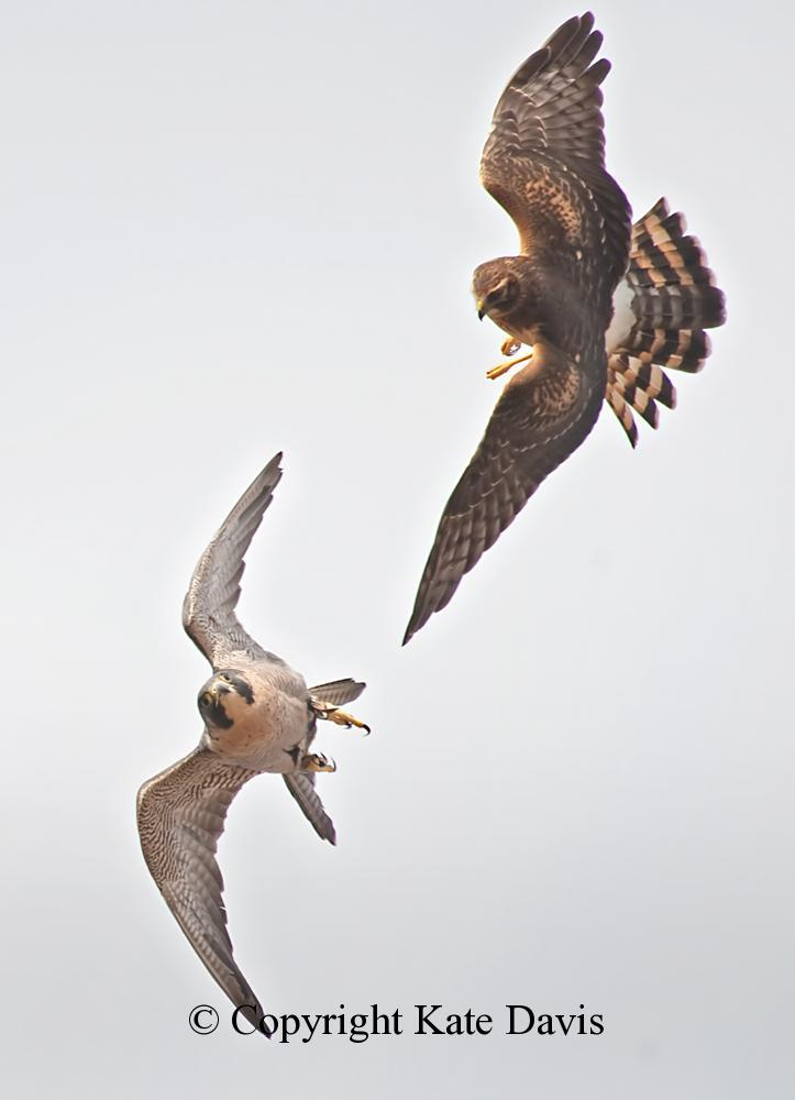 Peregrine Falcon - Peregrine with a Harrier - American Kestrel - Our Peregrine Goofs Off with a Harrier