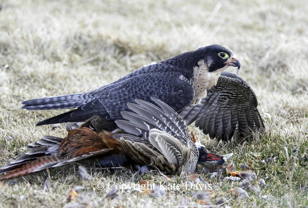 Peregrine Falcon - Pheasant and Peregrine - American Kestrel - Early season pheasant and Sib the Peregrine