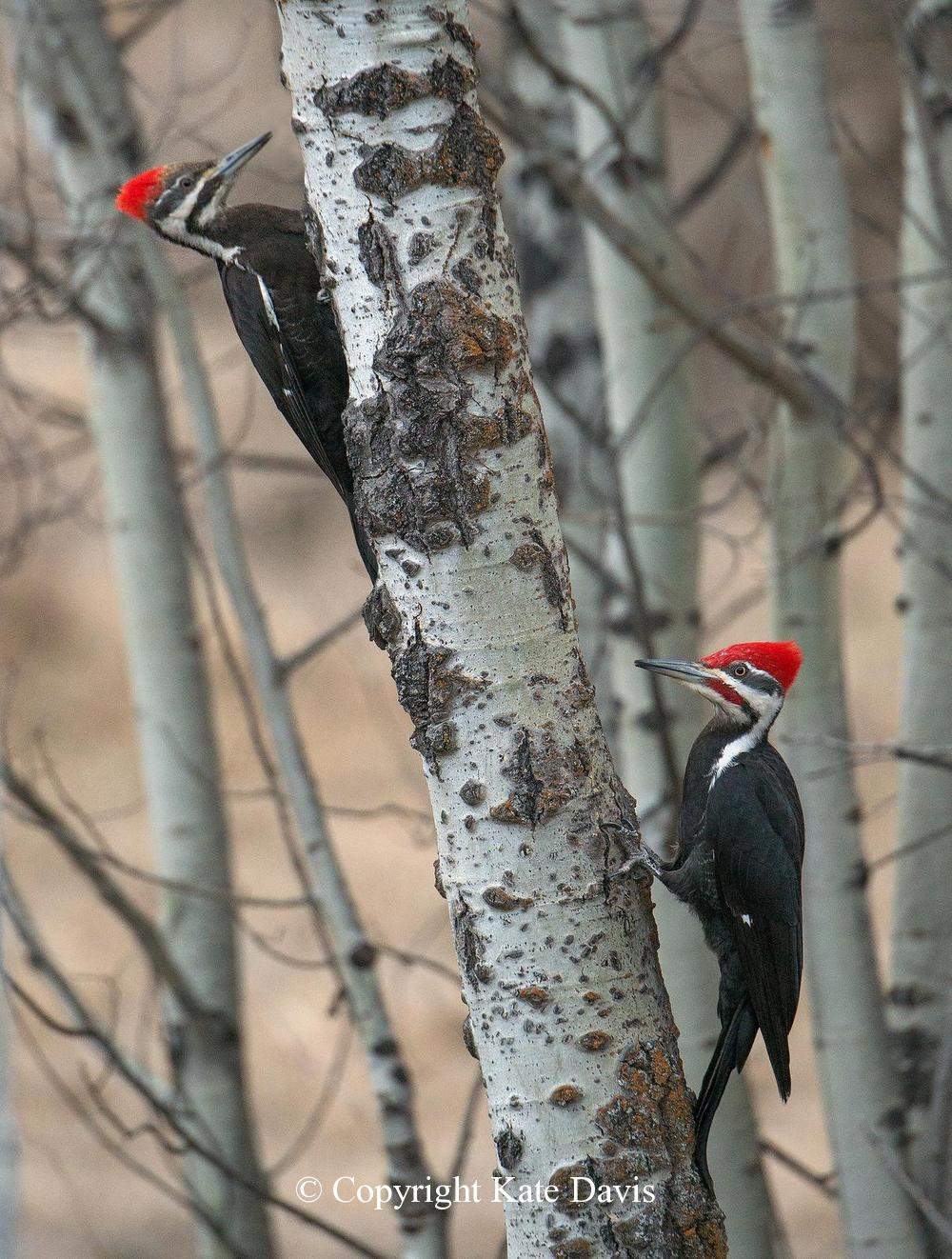 Song Bird Photos - Pileated Pair - Shore Bird Photos - Pileated Woodpecker pair in the front yard, by the suet feeder