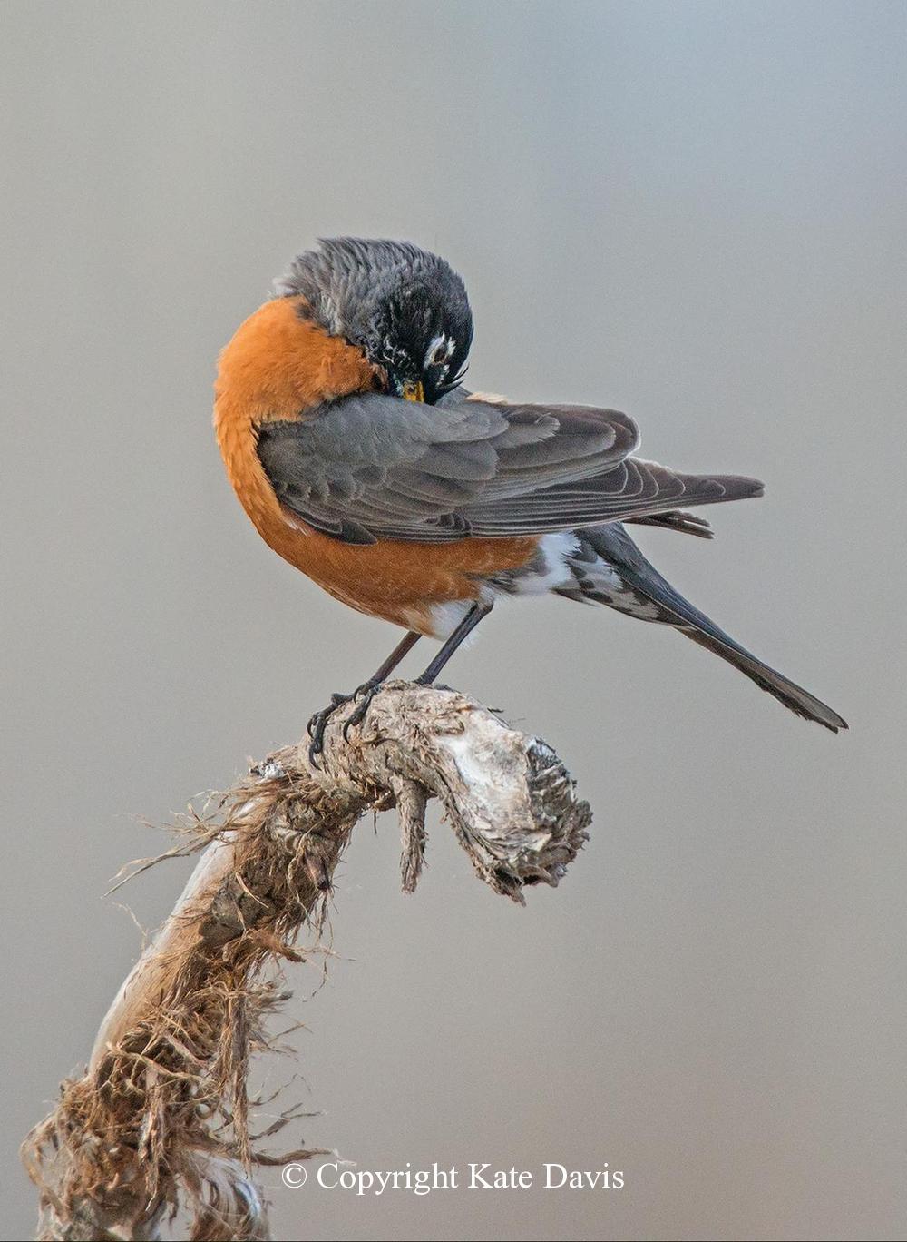 Song Bird Photos - Preening Robin - Shore Bird Photos - Preening Robin, a whole serious of four framed and in the living room