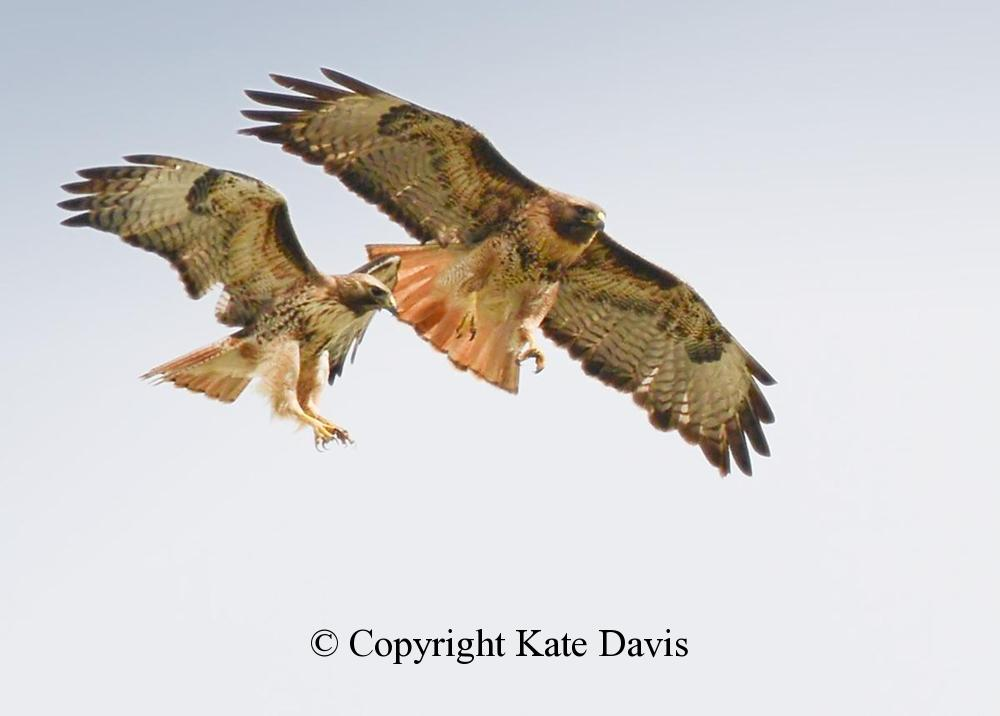 photographs of birds of prey - Red-tail Pair - Rough-legged Hawk - A great illustration of reversed sexual size dimorphism, or females are larger