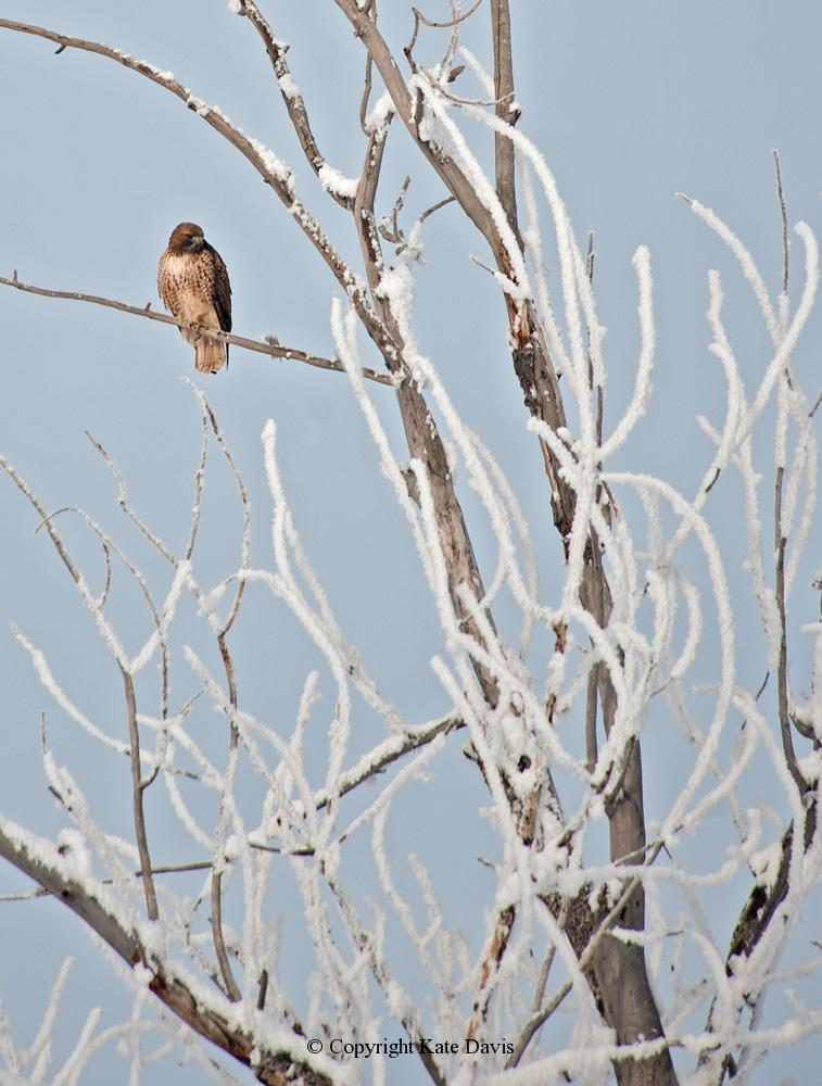 photographs of birds of prey - Red-tailed Hawk in the Snow - Rough-legged Hawk - Red-tailed Hawk in the bitter cold of the Bitterroot in December