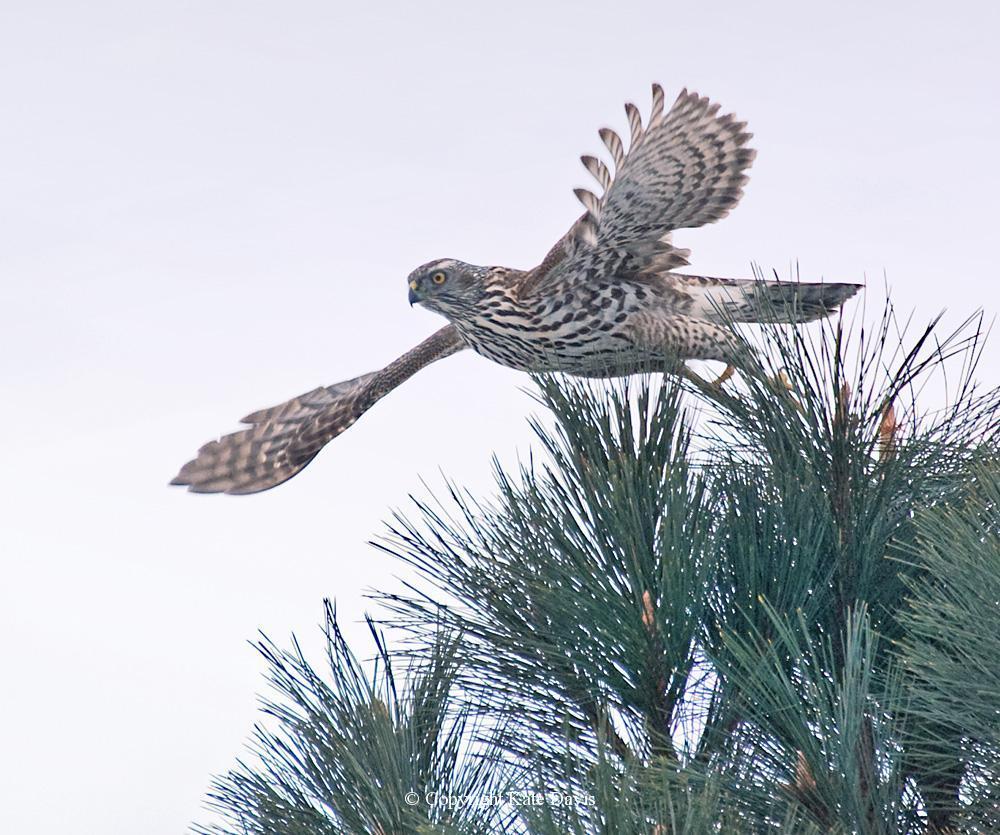 photographs of birds of prey - Return of the Goshawk - Rough-legged Hawk - Immature Northern Goshawk that often perched above our pigeon loft, waiting