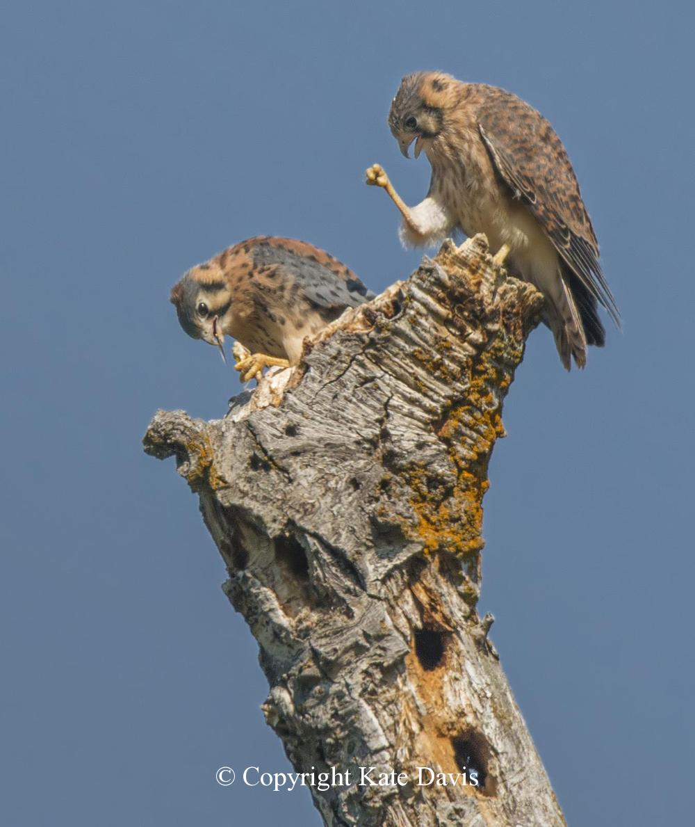 """Peregrine Falcon - """"Right On, Brother!"""" - American Kestrel - Fledgling American Kestrels with a 1960's saying"""
