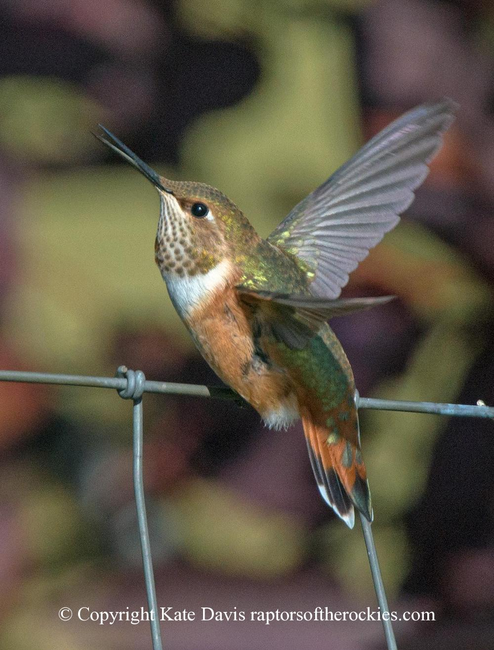 Song Bird Photos - Rufous Two - Shore Bird Photos - Rufous Two - Hummingbird perched on the fence with a tiny insect in her mouth