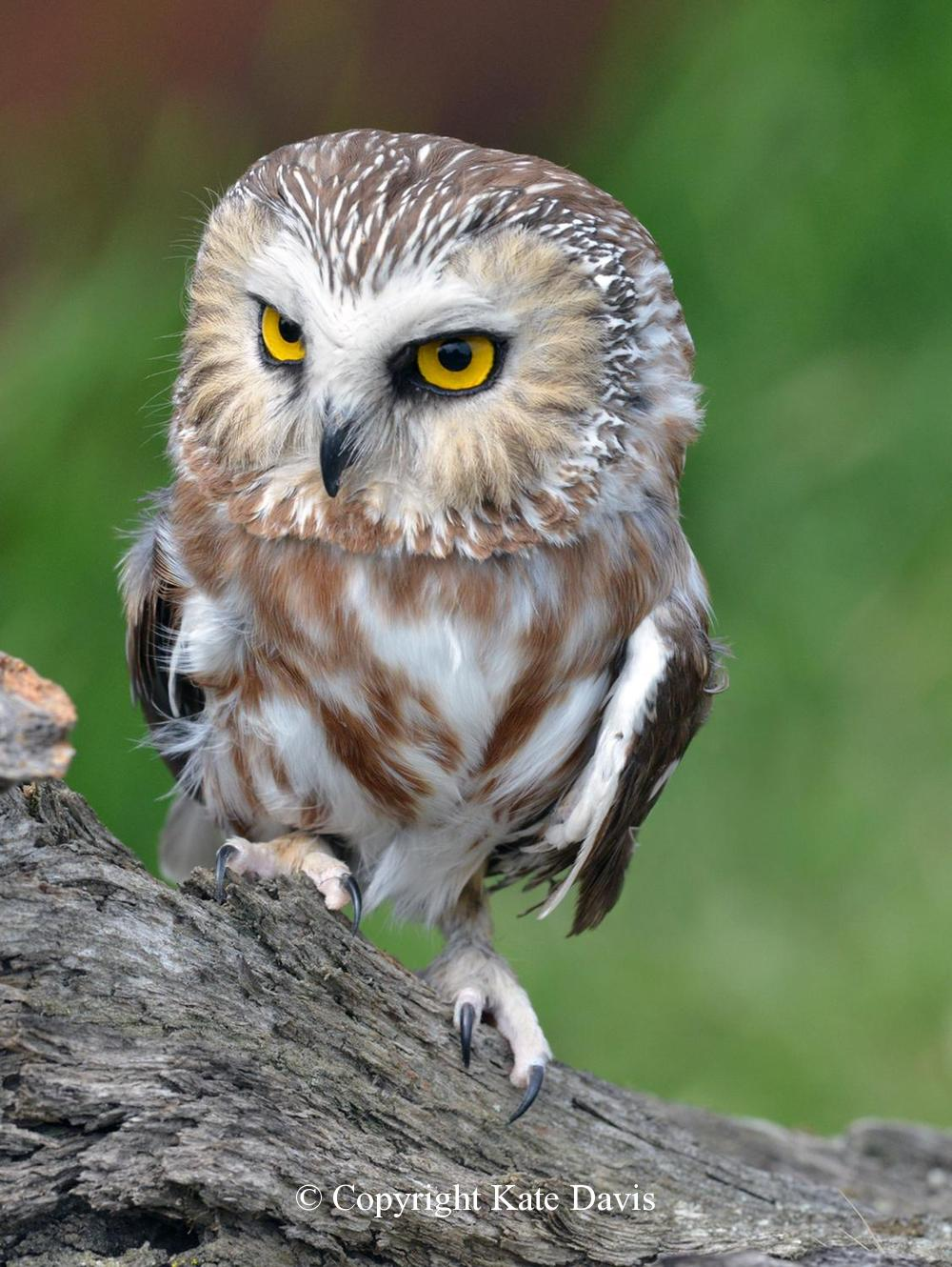 Kate Davis Owl Photographs  - Saw-whet Owl - Owl Photography - Owen our Saw-whet Owl posing for a portrait