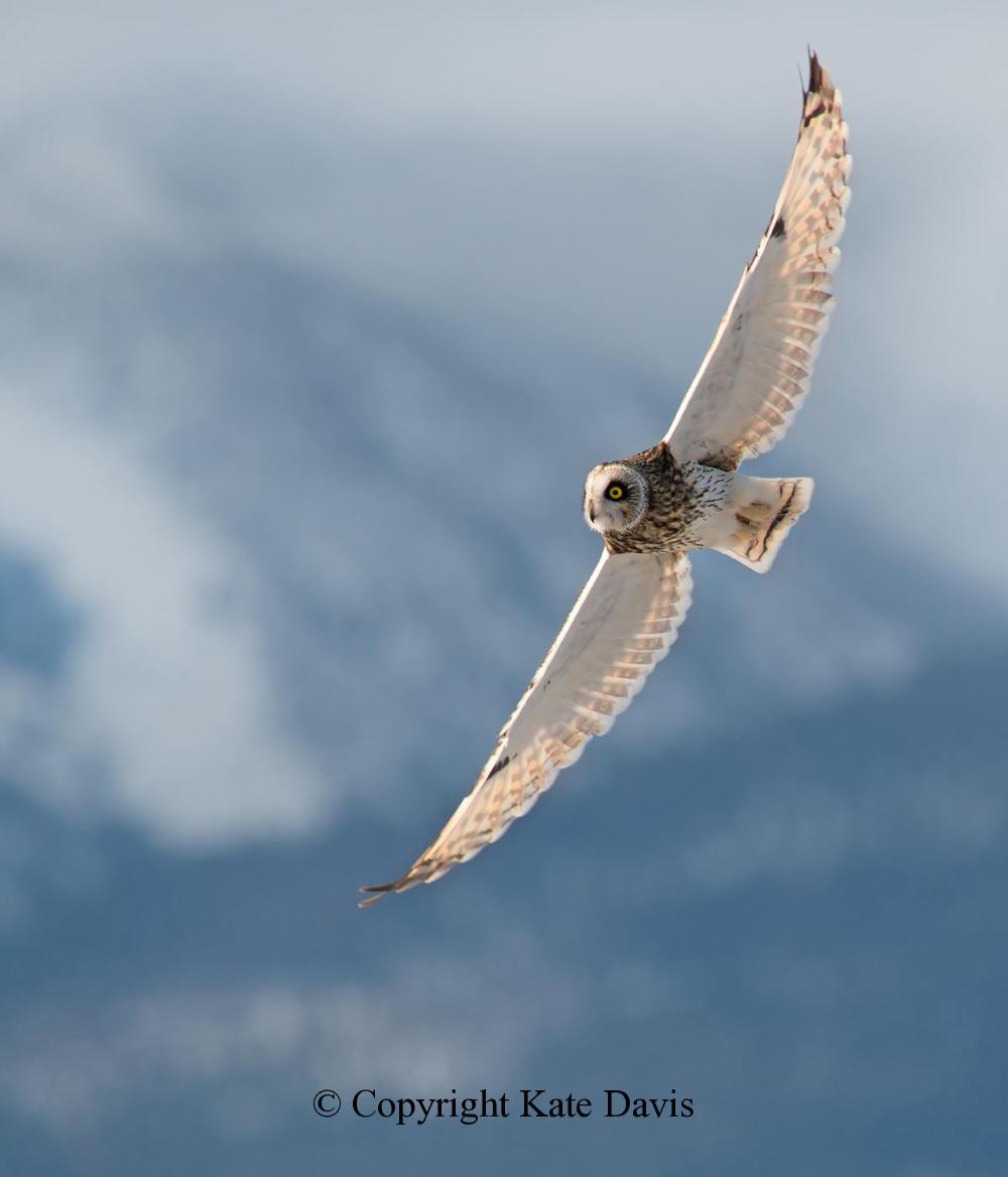 Kate Davis Owl Photographs  - Short-eared Owl 2 - Owl Photography - An awfully light-colored owl