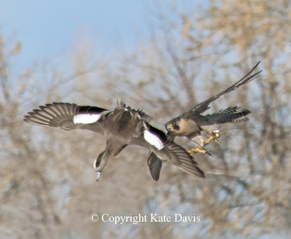 """Peregrine Falcon - Sib and Widgeon - American Kestrel - Our falcon Sibley the Peregrine missed this widgeon that """"ducked"""" at the last second"""