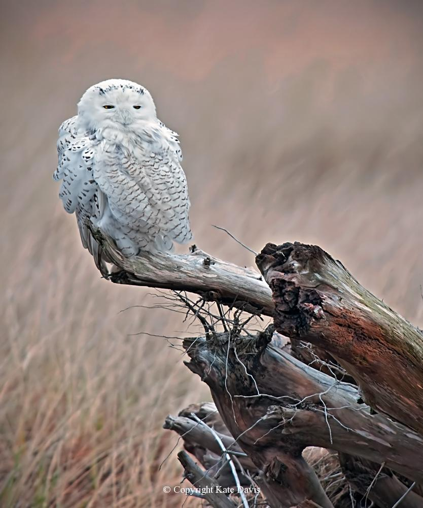 Kate Davis Owl Photographs  - Sleeping Snowy Owl - Owl Photography - Looks like a cat, wouldn't you say?
