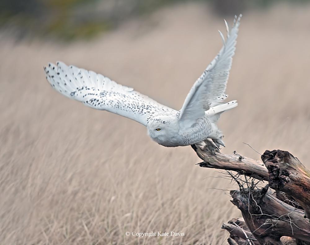 Kate Davis Owl Photographs  - Snowy Owl Launch - Owl Photography - Another owl launches, same one as Sleeping Snowy Owl