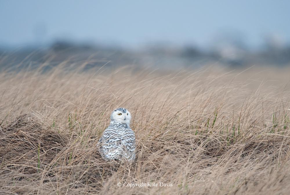Kate Davis Owl Photographs  - Snowy Owl in the Grass - Owl Photography - Yes, another Washington Snowy Owl...