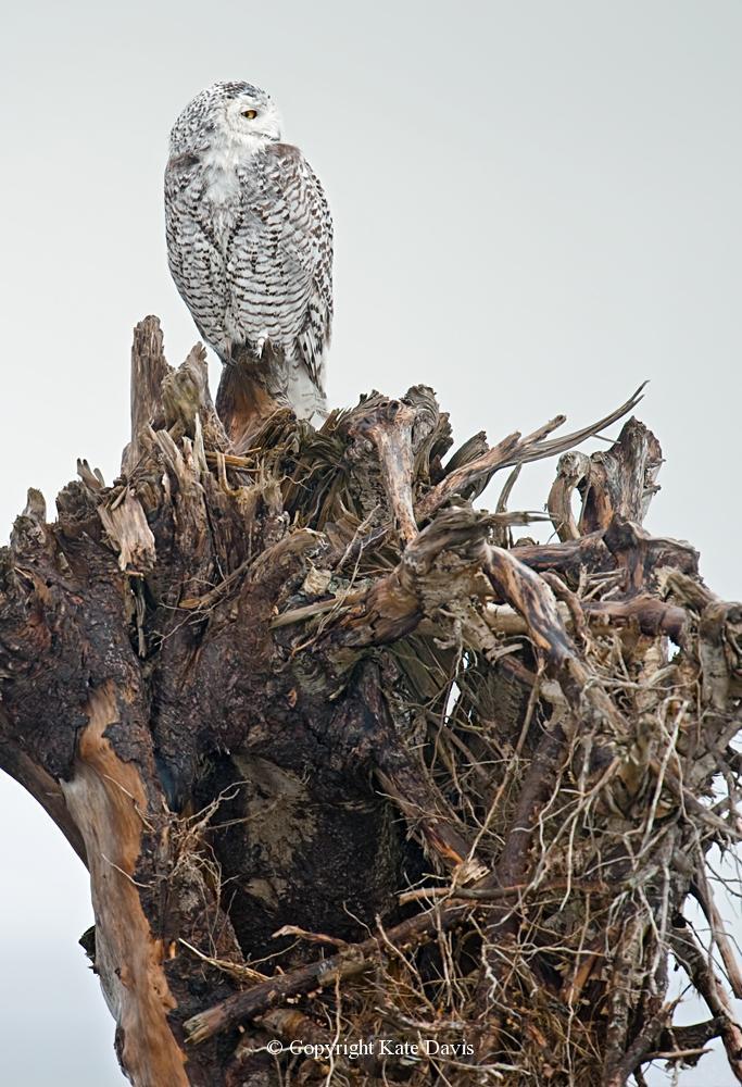 Kate Davis Owl Photographs  - Snowy Owl on a Root Wad - Owl Photography - Snowy Owl yet another root wad