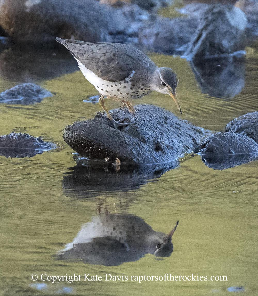 Spotted Sandpiper Reflection - As a joke I framed a print upside-down and no one noticed