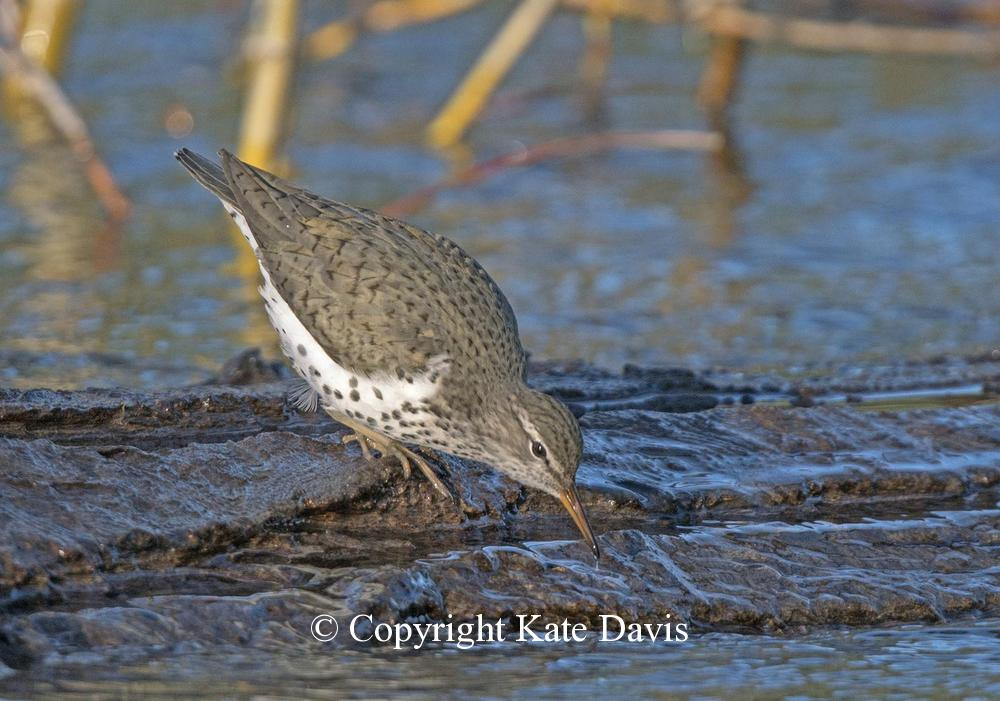 Song Bird Photos - Spring Spotted Sandpiper - Shore Bird Photos - Spring Spotted Sandpiper, always love watching these shorebirds
