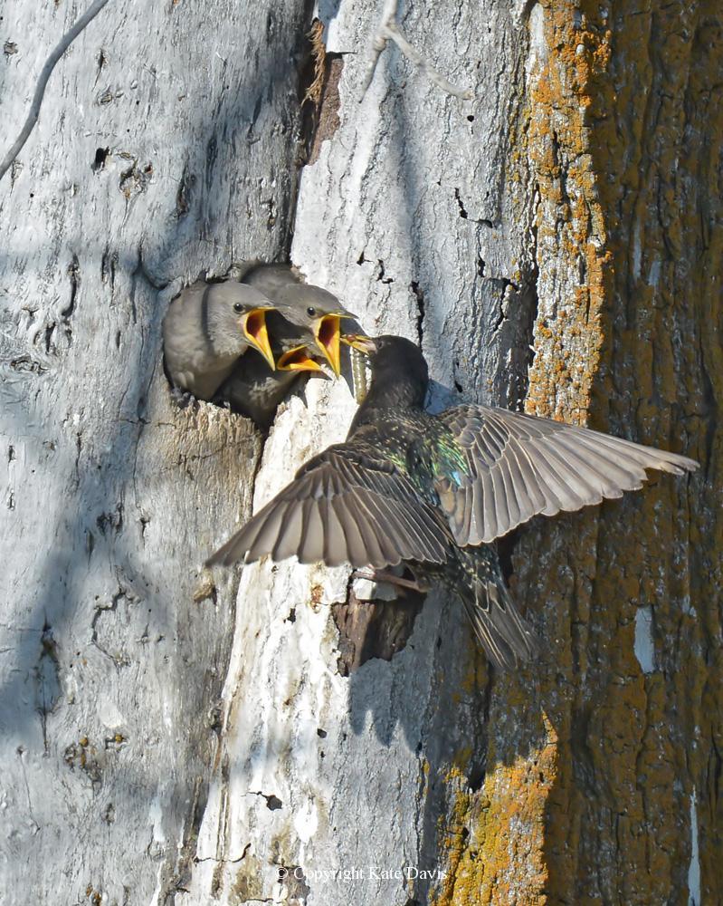 "Song Bird Photos - Starlings - Shore Bird Photos - European Starlings nest in the same snag as the kestrels featured in our book, ""American Kestrel: Pint-sized Predator"""