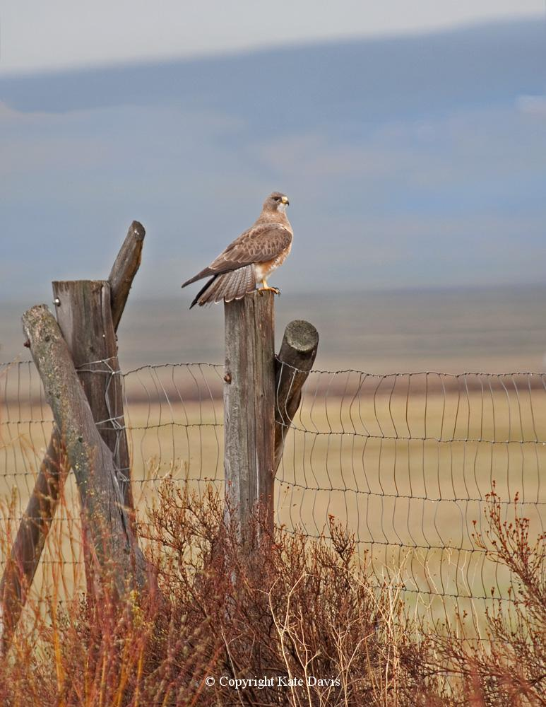 "photographs of birds of prey - Swainson's Hawk in the Big Hole - Rough-legged Hawk - I needed some Swainson's Hawk photos for our book ""Raptors of the West"""