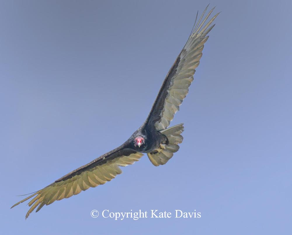 photographs of birds of prey - Turkey Vulture Checks Me Out - Rough-legged Hawk - Turkey Vulture flew right over head as I was photographing a hummingbird in my yard