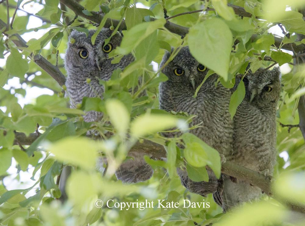Kate Davis Owl Photographs  - W. Screech-Owl Chicks - Owl Photography - Roosting babies and shooting into the sun and shadows, I didn't know if their faces were even showing - nice surprise