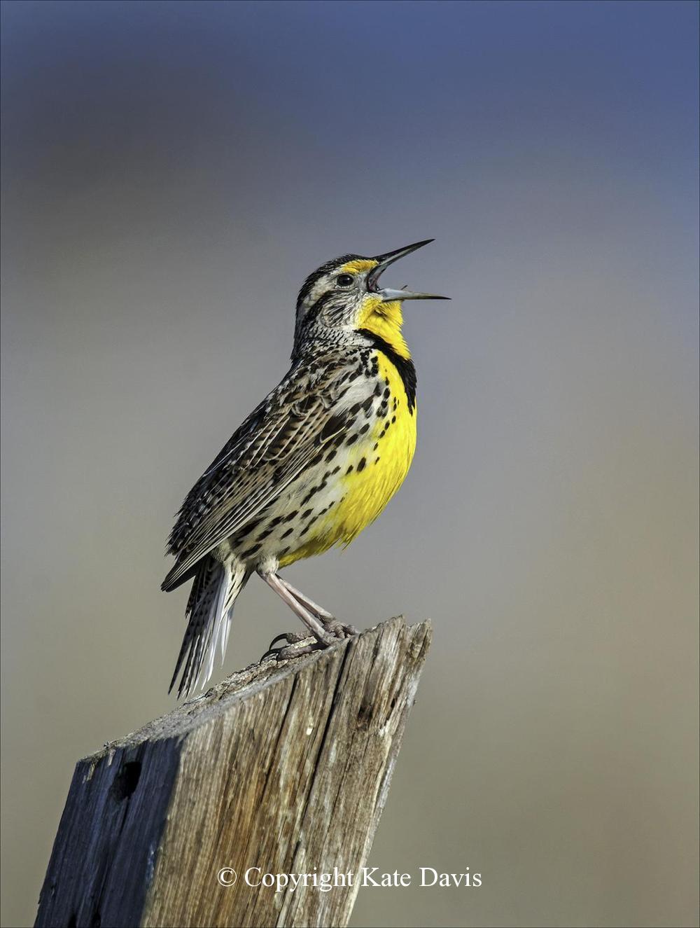 Song Bird Photos - Western Meadowlark - Shore Bird Photos - Western Meadowlark in song at the pole in our driveway