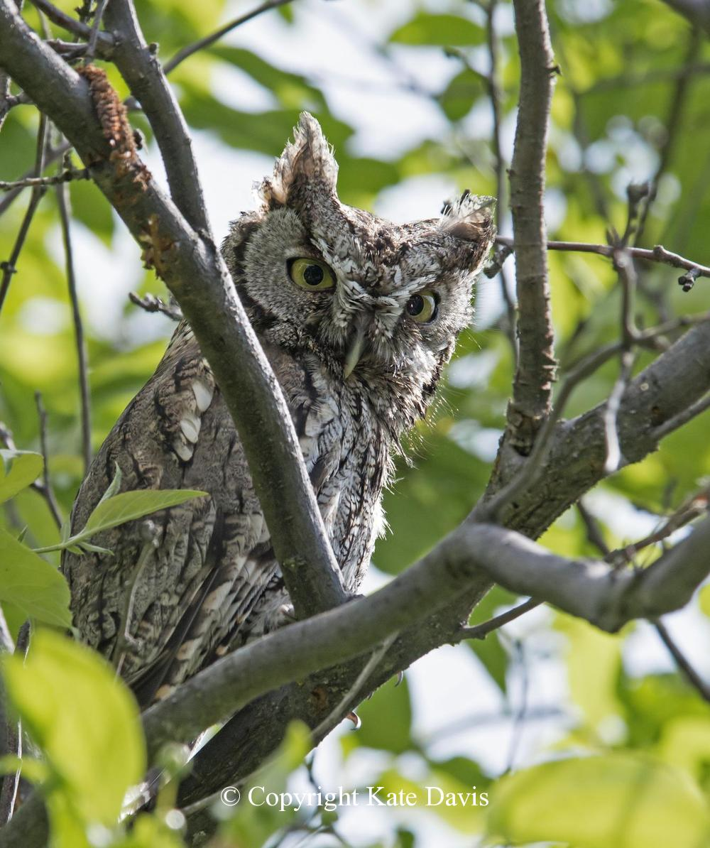 Kate Davis Owl Photographs  - Western Screech-Owl - Owl Photography - Western Screech-Owl adult, father of the three chicks in the next photo