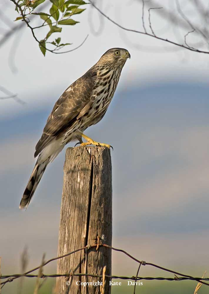 photographs of birds of prey - Young Cooper's Hawk - Rough-legged Hawk - We had to have an immature Cooper's Hawk photo for a book, and this one landed in the yard like magic