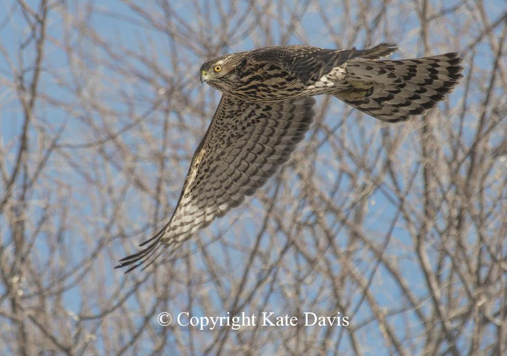 "photographs of birds of prey - Young Female Northern Goshawk - Rough-legged Hawk - This photo was in the book ""Birds of the Pacific Northwest"""