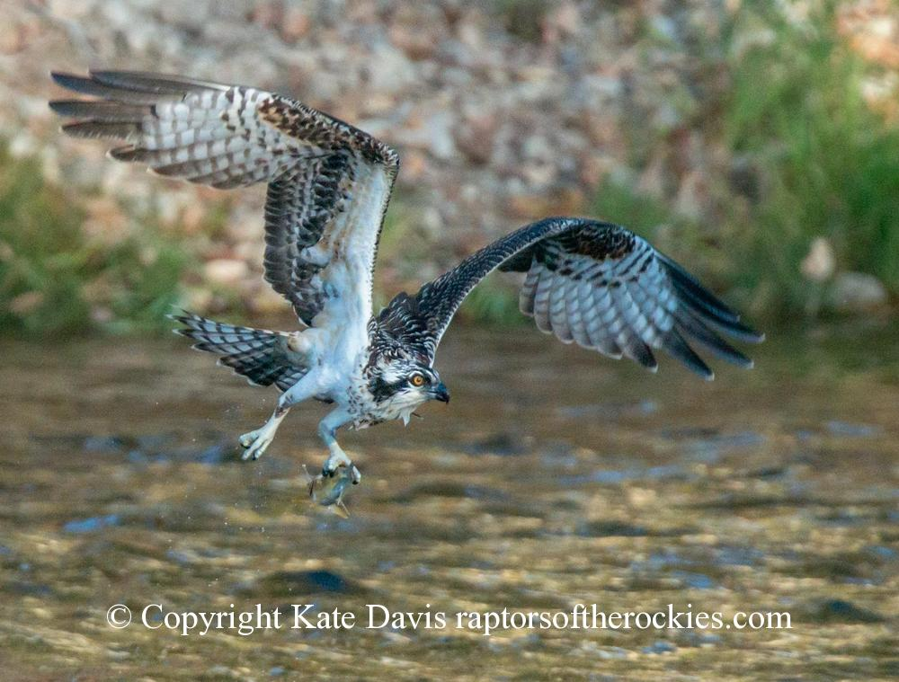 photographs of birds of prey - Young Osprey Scores - Rough-legged Hawk - Late season fishing before they Ospreys migrate south