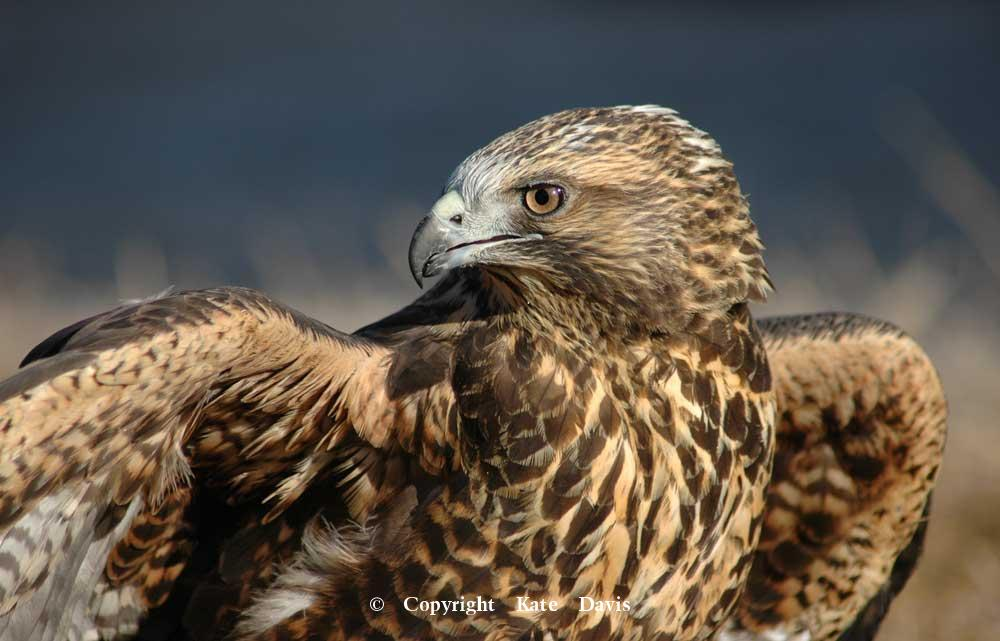 photographs of birds of prey - Young Swainson's Hawk, dark phase - Rough-legged Hawk - Young Swainson's Hawk, dark morph and in our program for 13 years so far